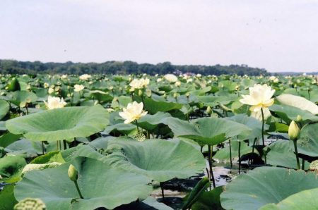 Egyptian Lotus Flowers on Grass Lake